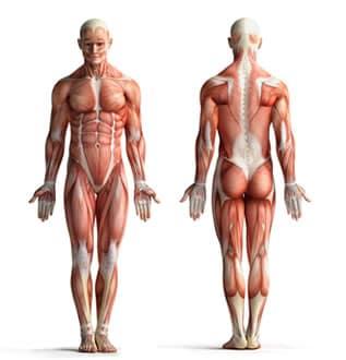 https://www.my-personaltrainer.it/imgs/2019/05/20/organi-del-corpo-umano-suddivisione-orig.jpeg