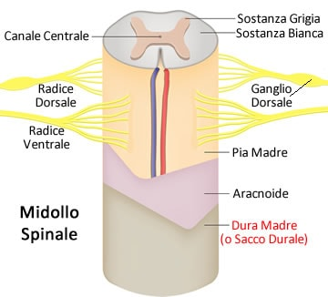 https://www.my-personaltrainer.it/imgs/2019/06/22/dura-madre-anatomia---sacco-durale-orig.jpeg