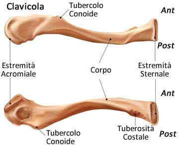 https://www.my-personaltrainer.it/imgs/2019/06/24/ossa-della-spalla-anatomia---clavicola-orig.jpeg