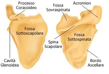https://www.my-personaltrainer.it/imgs/2019/06/24/ossa-della-spalla-anatomia---scapola-orig.jpeg