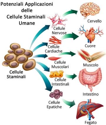 https://www.my-personaltrainer.it/imgs/2019/07/01/cellule-staminali-orig.jpeg