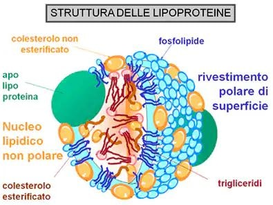 https://www.my-personaltrainer.it/imgs/2019/07/19/colesterolo-hdl---colesterolo-buono-2-orig.jpeg