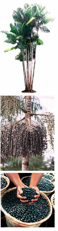 Bacche di Acai