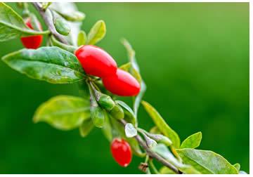 Goji - Arbusto frutti e foglie