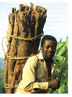 Pigeo africano