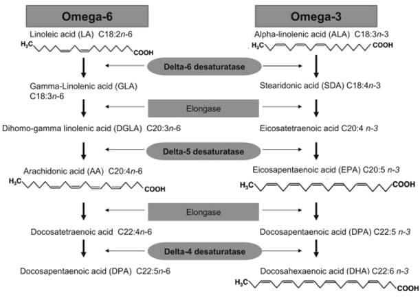 Acidi grassi polinsaturi - Metabolismo