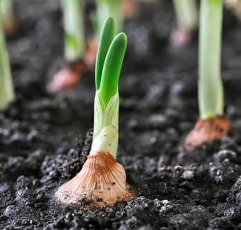 Cipolla Coltivazione