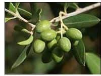 Olivo olio di oliva