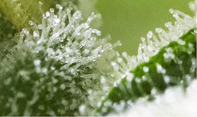 Tricomi di Cannabis