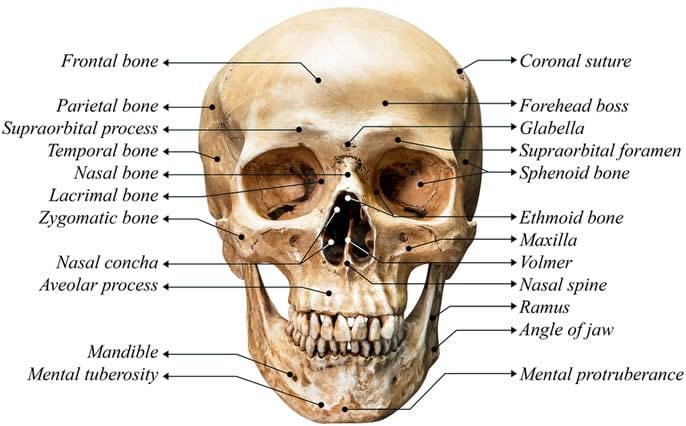 Cranio ossa orbite oculari