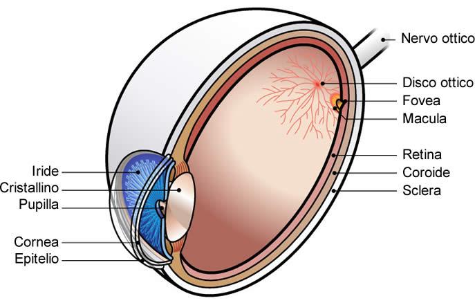 Occhio - Anatomia Nervo Ottico