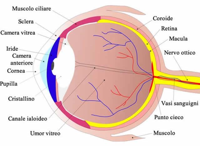 Occhio anatomia