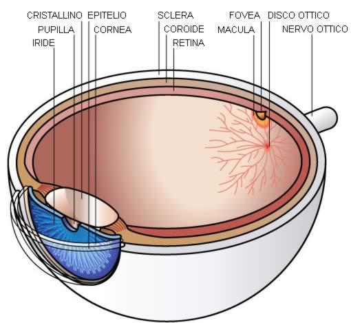 Occhio - Anatomia Sezione