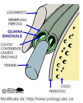Tenosinovite - Guaina Sinoviale
