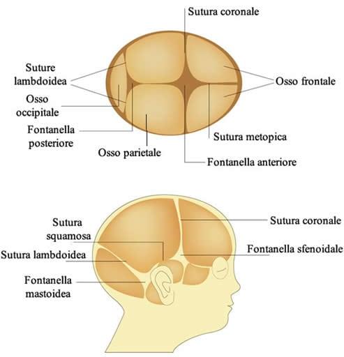 Fontanelle Cranio