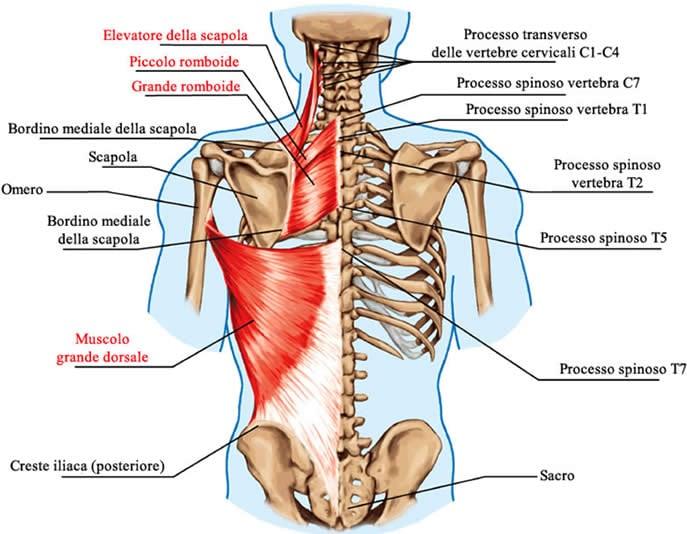 Muscoli Spalla e Scapola