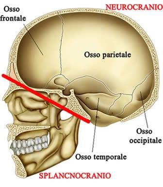 neurocranio splacnocranio