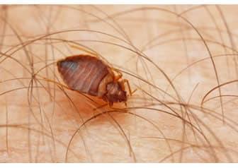 parassiti comuni nelle femmine e nelle loro uova