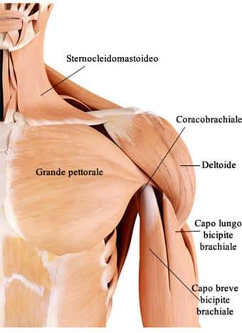 Muscoli Anteriori della Spalla