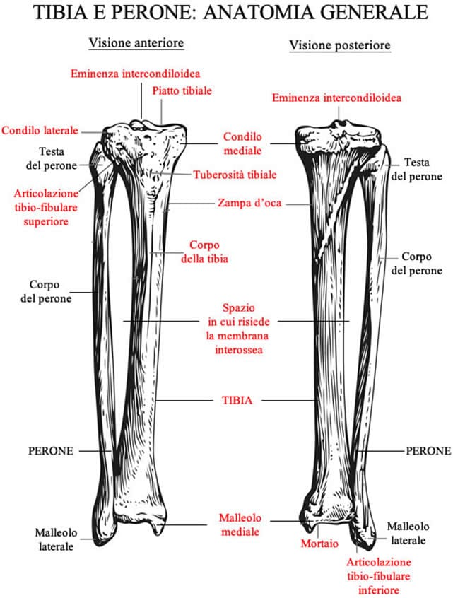 Tibia e Perone