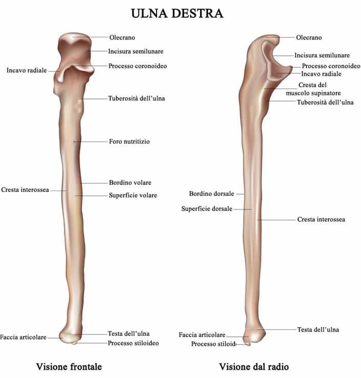 Ulna anatomia