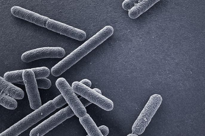 Escherichia coli - il batterio