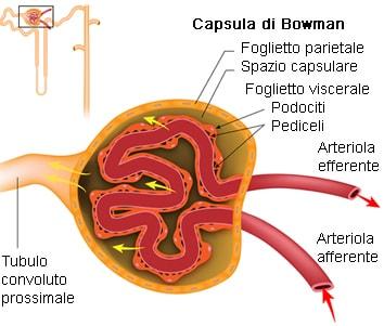 Corpuscolo renale