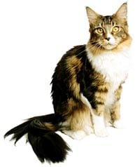 Toxoplasmosi gatto