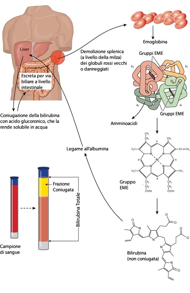 metabolismo bilirubina