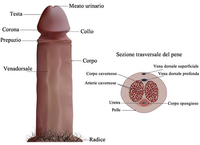 Pene Anatomia