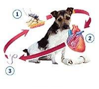 Filaria nel cane - sintomi