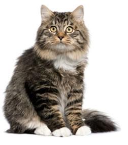 Объм крови у кошки первые признаки